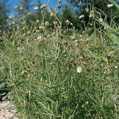 Plant form: Spergula arvensis. ~ By Marilee Lovit. ~ Copyright © 2020 Marilee Lovit. ~ lovitm[at]gmail.com