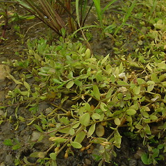 Plant form: Stellaria alsine. ~ By Glen Mittelhauser. ~ Copyright © 2021 Glen Mittelhauser. ~ www.mainenaturalhistory.org