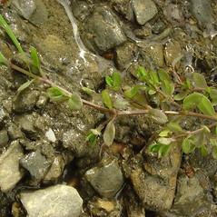 Stems: Stellaria alsine. ~ By Glen Mittelhauser. ~ Copyright © 2021 Glen Mittelhauser. ~ www.mainenaturalhistory.org