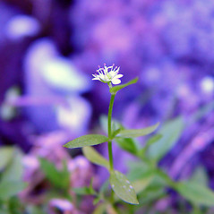 Flowers: Stellaria borealis. ~ By Arthur Haines. ~ Copyright © 2019. ~ arthurhaines[at]wildblue.net