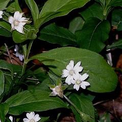 Plant form: Stellaria corei. ~ By Patricia Ciesla. ~ Copyright © 2020 CC BY-NC 3.0. ~  ~ Bugwood - www.bugwood.org/