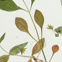 Stems: Stellaria corei. ~ By Derick B. Poindexter. ~ Copyright © 2020 Derick B. Poindexter. ~ dpoindex[at]live.unc.edu ~ Vascular Flora of Alleghany County, NC - vascularflora.appstate.edu/