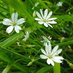 Flowers: Stellaria graminea. ~ By Glen Mittelhauser. ~ Copyright © 2021 Glen Mittelhauser. ~ www.mainenaturalhistory.org