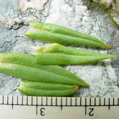 Leaves: Stellaria graminea. ~ By Glen Mittelhauser. ~ Copyright © 2021 Glen Mittelhauser. ~ www.mainenaturalhistory.org