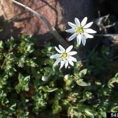 Flowers: Stellaria humifusa. ~ By Mary Ellen Harte. ~ Copyright © 2021 CC BY-NC 3.0. ~  ~ Bugwood - www.bugwood.org/