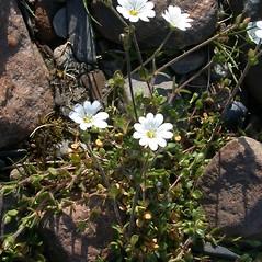 Plant form: Stellaria humifusa. ~ By Mary Ellen Harte. ~ Copyright © 2021 CC BY-NC 3.0. ~  ~ Bugwood - www.bugwood.org/
