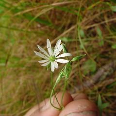 Flowers: Stellaria longifolia. ~ By Glen Mittelhauser. ~ Copyright © 2021 Glen Mittelhauser. ~ www.mainenaturalhistory.org