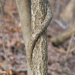 Bark: Celastrus orbiculatus. ~ By Arieh Tal. ~ Copyright © 2020 Arieh Tal. ~ http://botphoto.com/ ~ Arieh Tal - botphoto.com