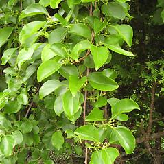 Plant form: Celastrus orbiculatus. ~ By Donna Kausen. ~ Copyright © 2020 Donna Kausen. ~ 33 Bears Den, Addison, ME 04606