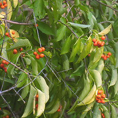 Fruits: Celastrus scandens. ~ By Vermont Nongame & Natural Heritage Program. ~ Copyright © 2020 Vermont Nongame & Natural Heritage Program. ~ Bob.Popp[at]state.vt.us ~ Vt Nongame & Natural Heritage Program