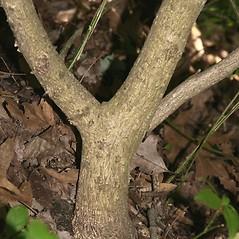 Bark: Euonymus alatus. ~ By Arieh Tal. ~ Copyright © 2021 Arieh Tal. ~ www.nttlphoto.com ~ Arieh Tal - www.nttlphoto.com