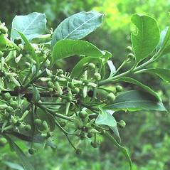 Flowers: Euonymus europaeus. ~ By Alexey Zinovjev. ~ Copyright © 2021. ~ webmaster[at]salicicola.com ~ Salicicola - www.salicicola.com/