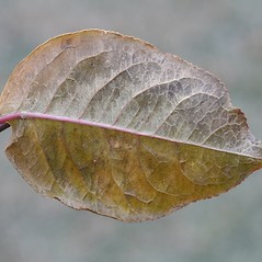 Leaves: Euonymus europaeus. ~ By Arieh Tal. ~ Copyright © 2021 Arieh Tal. ~ http://botphoto.com/ ~ Arieh Tal - botphoto.com