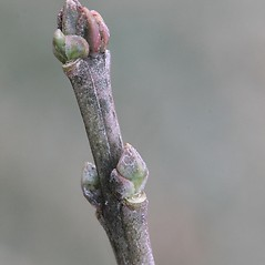 Winter buds: Euonymus europaeus. ~ By Arieh Tal. ~ Copyright © 2021 Arieh Tal. ~ http://botphoto.com/ ~ Arieh Tal - botphoto.com