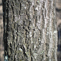 Bark: Euonymus phellomanus. ~ By Bruce Patterson. ~ Copyright © 2021 Bruce Patterson. ~ foxpatterson[at]comcast.net
