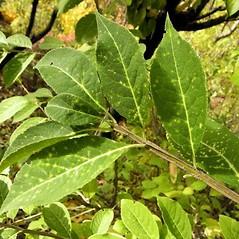 Leaves: Euonymus phellomanus. ~ By Andrea Moro. ~ Copyright © 2021 CC BY-NC-SA 3.0. ~  ~ luirig.altervista.org/flora/taxa/north-america.php