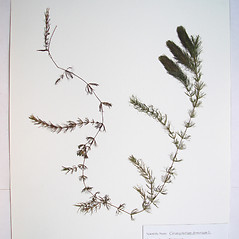 Plant form: Ceratophyllum demersum. ~ By Donald Cameron. ~ Copyright © 2020 Donald Cameron. ~ No permission needed for non-commercial uses, with proper credit