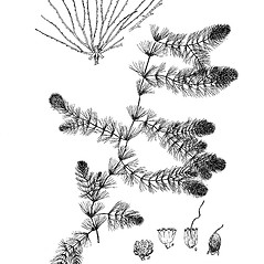 Plant form: Ceratophyllum demersum. ~ By Regina O. Hughes. ~  Public Domain. ~  ~ Reed, C.F. 1970. Selected weeds of the United States. USDA Agric. Res. Ser. Agric. Handbook 336