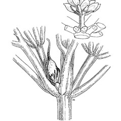 Inflorescences: Ceratophyllum demersum. ~ By Mary Barnes Pomeroy. ~ Copyright © 2019 Estate of Herbert Mason. ~ Any use permitted ~ Mason, HL. 1957. A flora of the Marshes of California. U. of California Press, Berkeley and Los Angeles, Library of Congress number 57-7960