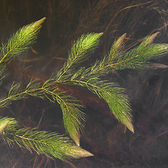 Leaves: Ceratophyllum demersum. ~ By Donald Cameron. ~ Copyright © 2019 Donald Cameron. ~ No permission needed for non-commercial uses, with proper credit