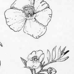 Flowers: Crocanthemum dumosum. ~ By Tess Feltes. ~  Public Domain. ~  ~ U. of New Hampshire