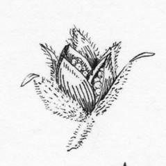 Fruits: Crocanthemum dumosum. ~ By Tess Feltes. ~  Public Domain. ~  ~ U. of New Hampshire