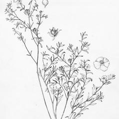 Plant form: Crocanthemum dumosum. ~ By Tess Feltes. ~  Public Domain. ~  ~ U. of New Hampshire