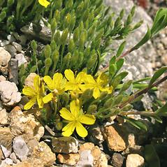 Flowers: Hudsonia ericoides. ~ By Marilee Lovit. ~ Copyright © 2021 Marilee Lovit. ~ lovitm[at]gmail.com