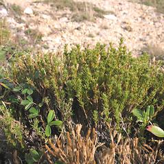 Plant form: Hudsonia ericoides. ~ By Marilee Lovit. ~ Copyright © 2021 Marilee Lovit. ~ lovitm[at]gmail.com
