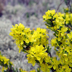 Flowers: Hudsonia tomentosa. ~ By Arthur Haines. ~ Copyright © 2020. ~ arthurhaines[at]wildblue.net