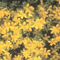 Flowers: Hudsonia tomentosa. ~ By Frank Bramley. ~ Copyright © 2020 New England Wild Flower Society. ~ Image Request, images[at]newenglandwild.org