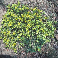 Flowers: Hudsonia tomentosa. ~ By John Lynch. ~ Copyright © 2020 New England Wild Flower Society. ~ Image Request, images[at]newenglandwild.org