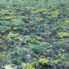 Plant form: Hudsonia tomentosa. ~ By John Lynch. ~ Copyright © 2020 New England Wild Flower Society. ~ Image Request, images[at]newenglandwild.org