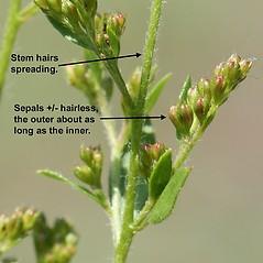 Additional features: Lechea mucronata. ~ By Arieh Tal. ~ Copyright © 2020 Arieh Tal. ~ http://botphoto.com/ ~ Arieh Tal - botphoto.com