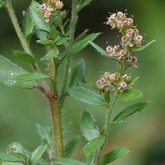 Flowers: Lechea mucronata. ~ By Arieh Tal. ~ Copyright © 2020 Arieh Tal. ~ http://botphoto.com/ ~ Arieh Tal - botphoto.com