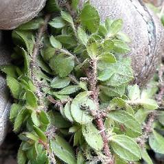 Leaves: Lechea mucronata. ~ By Douglas McGrady. ~ Copyright © 2021 Douglas McGrady. ~ demcgrady[at]hotmail.com