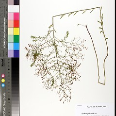 Plant form: Lechea pulchella. ~ By Florida State University Godfrey Herbarium. ~ Copyright © 2020 CC BY-NC-SA 3.0. ~  ~ Morphbank - Biological Imaging - www.morphbank.net