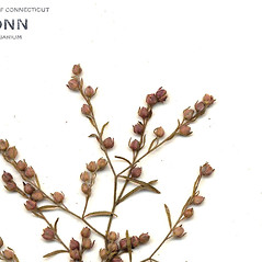 Flowers: Lechea tenuifolia. ~ By CONN Herbarium. ~ Copyright © 2020 CONN Herbarium. ~ Requests for image use not currently accepted by copyright holder ~ U. of Connecticut Herbarium - bgbaseserver.eeb.uconn.edu/