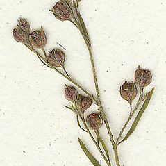 Fruits: Lechea tenuifolia. ~ By Missouri Botanical Garden. ~ Copyright © 2021 CC-BY-NC-SA. ~  ~ Tropicos, Missouri Botanical Garden - www.tropicos.org