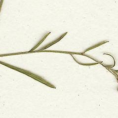 Leaves: Lechea tenuifolia. ~ By Missouri Botanical Garden. ~ Copyright © 2021 CC-BY-NC-SA. ~  ~ Tropicos, Missouri Botanical Garden - www.tropicos.org