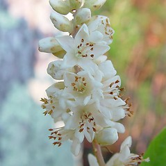 Flowers: Clethra alnifolia. ~ By Arthur Haines. ~ Copyright © 2019. ~ arthurhaines[at]wildblue.net