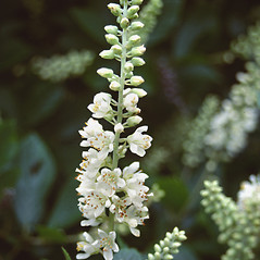 Flowers: Clethra alnifolia. ~ By Roland Boutwell. ~ Copyright © 2019 Roland Boutwell. ~ Requests for image use not currently accepted by copyright holder