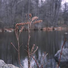 Fruits: Clethra alnifolia. ~ By Carol Levine. ~ Copyright © 2019 Carol Levine. ~ carolflora[at]optonline.net