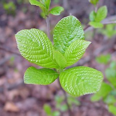 Leaves: Clethra alnifolia. ~ By Arthur Haines. ~ Copyright © 2019. ~ arthurhaines[at]wildblue.net