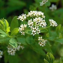Flowers: Comandra umbellata. ~ By Ben Kimball. ~ Copyright © 2021 Ben Kimball. ~ alpinefin[at]comcast.net