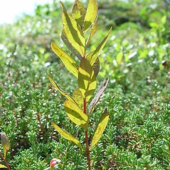 Leaves: Geocaulon lividum. ~ By Arthur Haines. ~ Copyright © 2021. ~ arthurhaines[at]wildblue.net