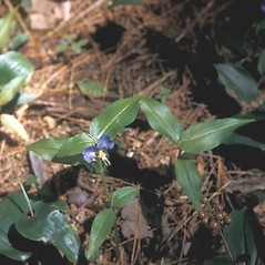 Leaves: Commelina communis. ~ By Frank Bramley. ~ Copyright © 2021 New England Wild Flower Society. ~ Image Request, images[at]newenglandwild.org