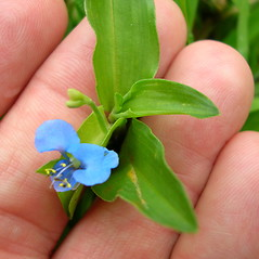 Flowers: Commelina diffusa. ~ By Kim Starr. ~ Copyright © 2021 CC BY 3.0. ~ starrimages[at]hear.org ~ Plants of Hawaii - www.hear.org/starr/images/?o=plants