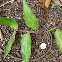 Leaves: Commelina diffusa. ~ By Kim Starr. ~ Copyright © 2021 CC BY 3.0. ~ starrimages[at]hear.org ~ Plants of Hawaii - www.hear.org/starr/images/?o=plants