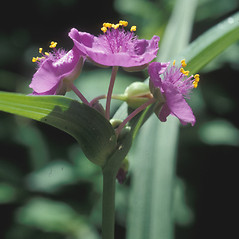 Flowers: Tradescantia ohiensis. ~ By John Lynch. ~ Copyright © 2020 New England Wild Flower Society. ~ Image Request, images[at]newenglandwild.org
